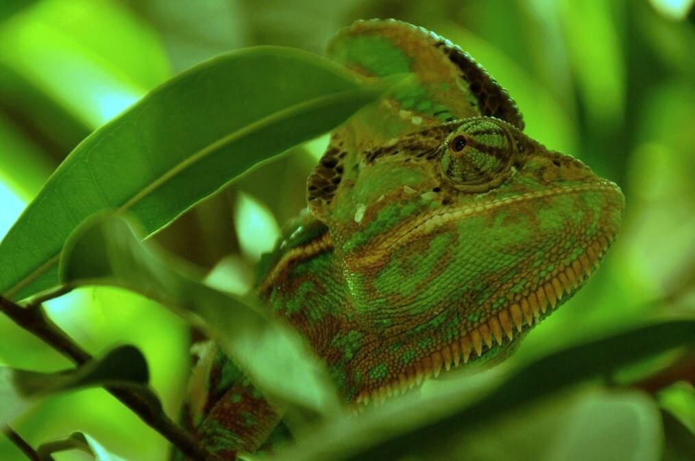 chameleon-101106_1280(2)
